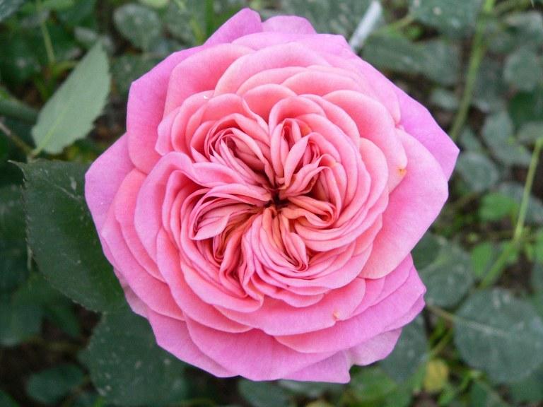 Rosa Duchessa
